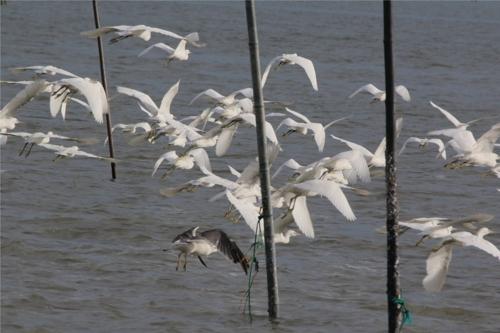 신안 압해도 갯벌서 멸종위기 노랑부리백로 150마리 관찰
