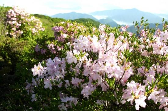 영주 소백산 철쭉 아름다운 유혹 … 이번 주말 절정