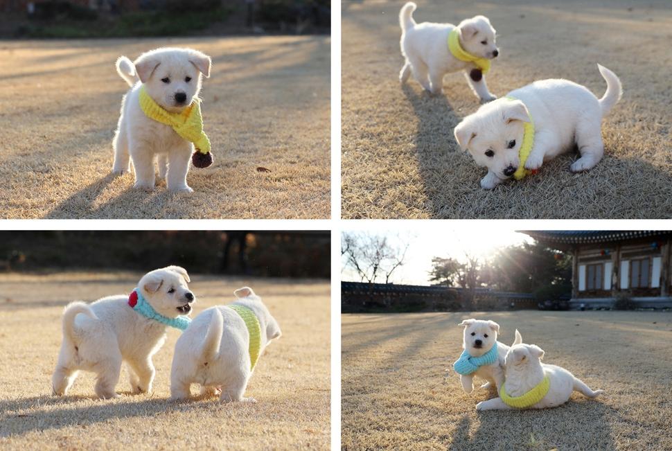 [포토] 김정은이 선물한 풍산개 곰이가 낳은 여섯마리 강아지