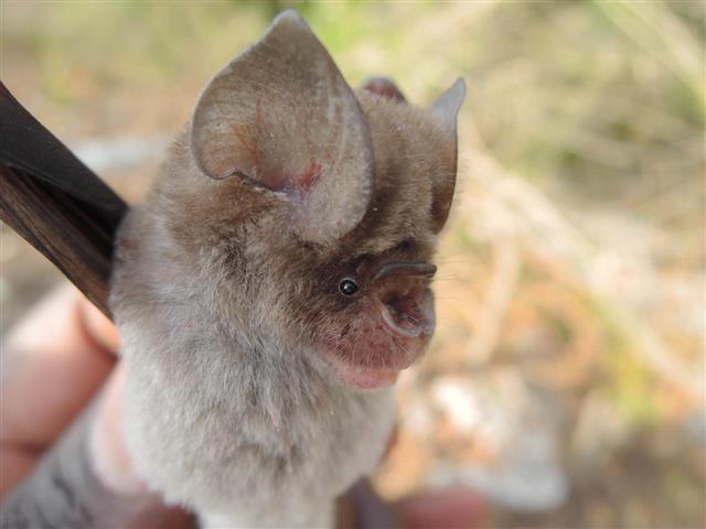 '코로나 저장고' 관박쥐 더 있다…친척뻘 잎코박쥐 4종 새로 발견