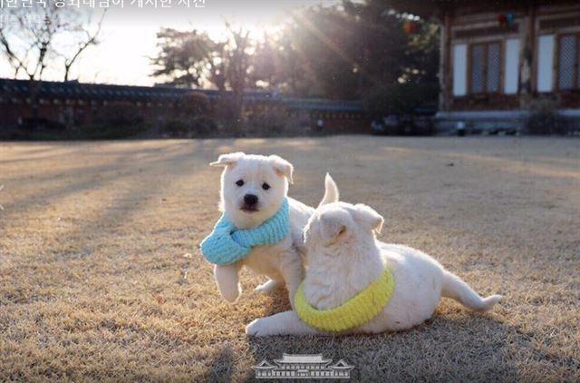 청와대 크리스마스 선물 받은 풍산개 강아지들 공개