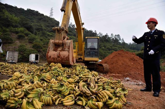 [영상중국] 필리핀 '농약 바나나' 35t  폐기 처분