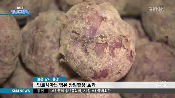 항암활성 효과 , 붉은 감자  '홍영'