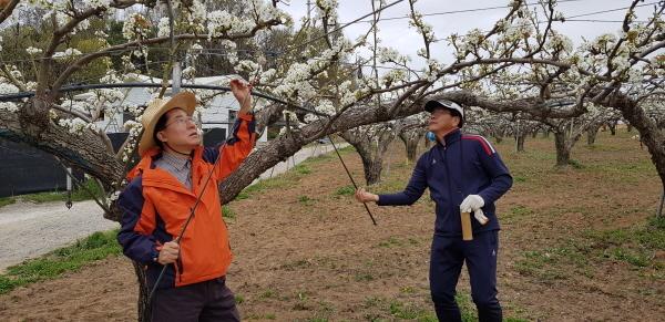 자유한국당 아산을 당협, 배꽃 인공수분 일손 돕기
