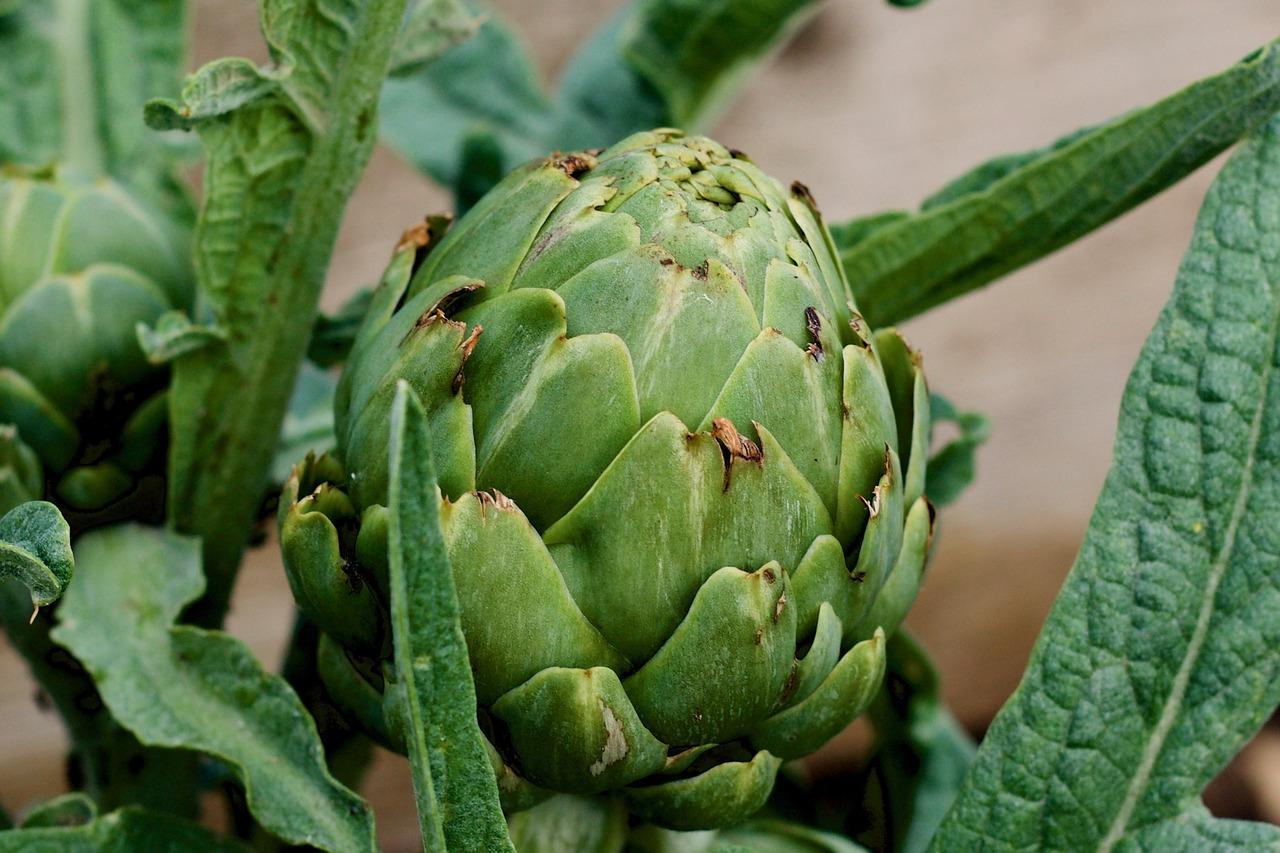 다양한 영양성분 가득한 '아티초크', 아티초크 조리법과 아티초크 키우는 법은?