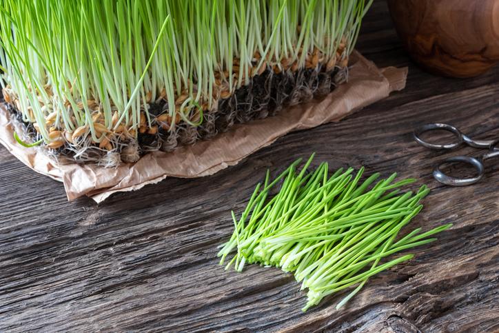당뇨에 좋은 음식 '새싹보리' 효능과 부작용은? 새싹보리 키우는 법, 새싹보리 분말 먹는 방법도