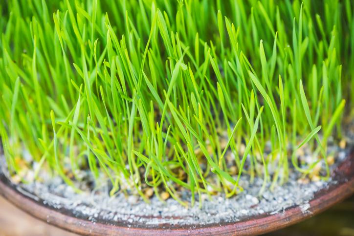지방감소에 탁월한 새싹보리 효능, 집에서 간단하게 키울 수 있는 새싹보리 키우는법 소개