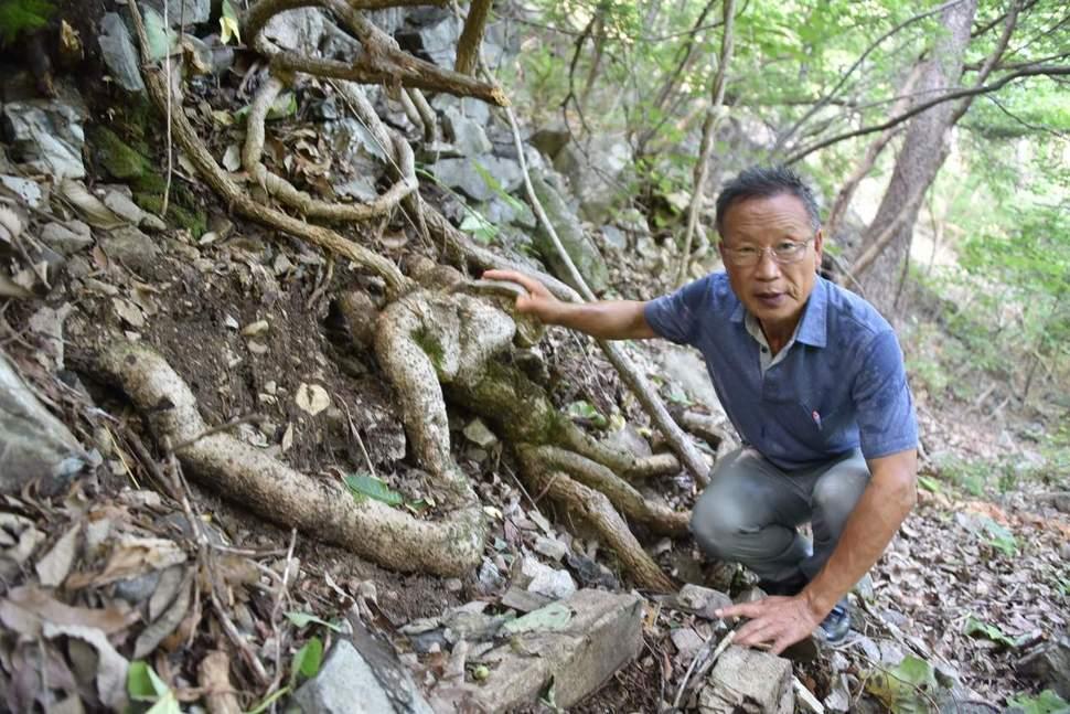 길이 30m, 나이 300살 국내 최대 '등칡' 발견