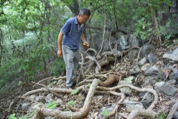'국내 최대·최고령(수령 300년 추정)등칡'…울산생명의숲 재약산 너들지대서 발견