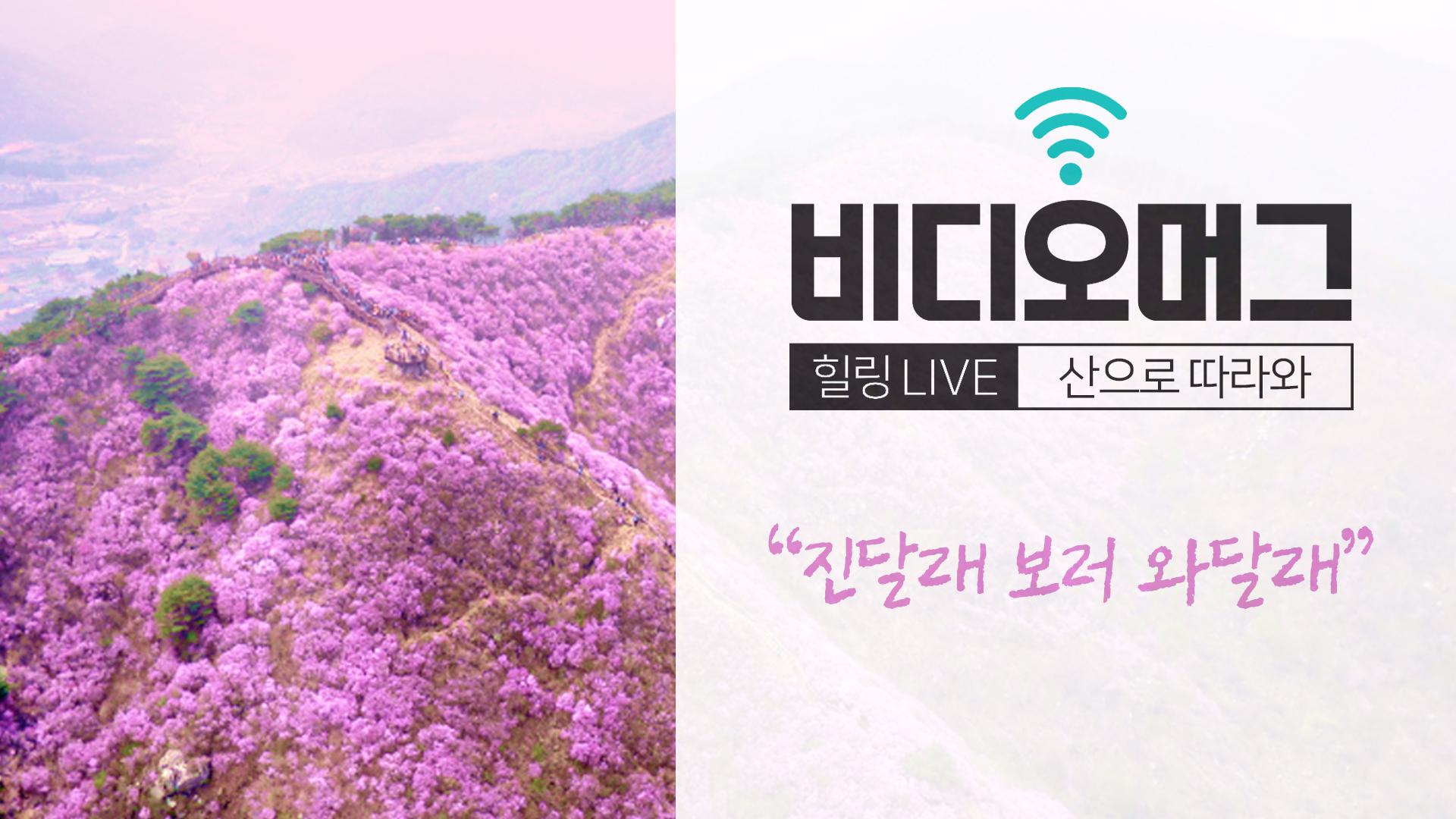 [비디오머그 라이브] 진달래꽃 만개한 고려산 풍경 '진달래 보러 와달래'