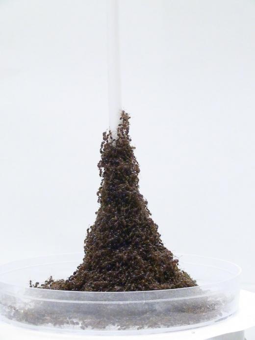 불개미가 만든 에펠탑…그 원리를 찾았다(연구)