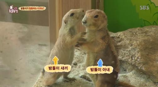 [TV컷Q] `TV동물농장` 프레리 독, 탈출 위해 `홀로 높이뛰기` 도전 이유는?