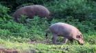 겨울철 멧돼지 도심 출몰 '비상'…부산, 지난해 397% 증가