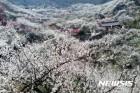 '봄꽃 축제 서막' 광양매화축제, 내달 17일 개최