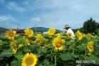 면사무소 직원들이 해바라기 꽃동산 조성