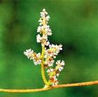 잦은 소변으로 힘들어했던 영조가 양기 북돋기 위해 먹은 식물은?