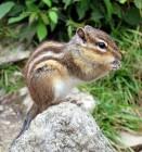 한반도 고유종 다람쥐, 프랑스에서 천덕꾸러기 된 까닭