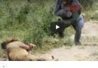 영상 대낮 호적수의 농락에 놀아난 사자