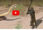 영상 코브라 토막 내는 개코원숭이