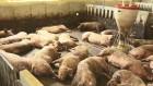 펄펄 끓는 축사 '가축도 헉헉'…닭·돼지 등 잇단 떼죽음