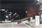 충주 대학 캠퍼스에 멧돼지 8마리 출몰 소동