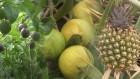 중부지방서 구아바ㆍ파인애플…과일 재배지도 '북상'