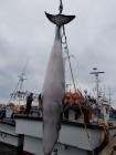 포항 앞바다서 4.4m 밍크고래 죽은 채 발견