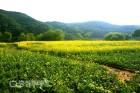 노랗게 물든 금강길…석장리박물관 근처 유채꽃 만개