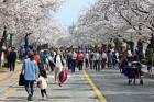 정읍벚꽃축제, 전국 3대 축제로 키운다