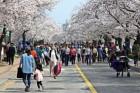 정읍 벚꽃축제 전국 3대 벚꽃축제로 키운다