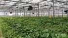 충남농업기술원, 바이러스 없앤 딸기 우량묘 농가 분양
