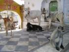 인도 낙농업 좀먹는 '힌두교 소 숭배 전통'