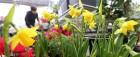 봄 반기는 수선화