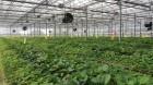 충남농기원, 바이러스 없는 딸기 우량묘 농가 분양