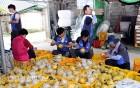 현대차 울산공장, 자매결연마을 '배 수확' 일손돕기 나서