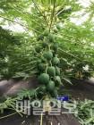 충남도, 아열대 작물 '파파야' 최적 재배법 개발