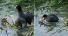 새끼들 잡아먹은 독수리를 '엉덩이'로 깔아뭉개 죽인 엄마 오리