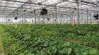 충남, 바이러스 없는 딸기 우량묘 농가 분양