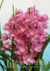 국산 난 심비디움 '해피데이', 일본에 최고가 수출...꽃대 1대당 4,597원
