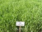 농진청, 추위 강한 국산 풀사료 '코윈어리'...강원지역 재배 늘어